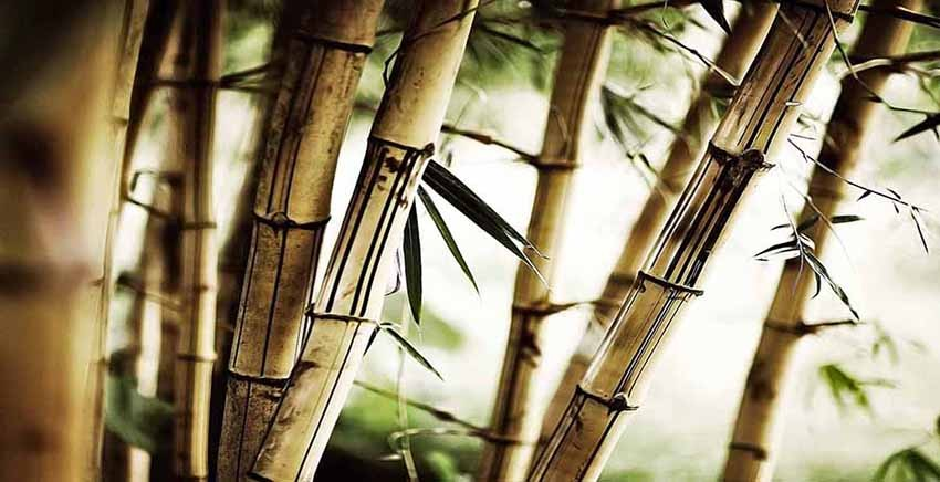 R1450 Canvas Wall Art Canvas Print Bamboo