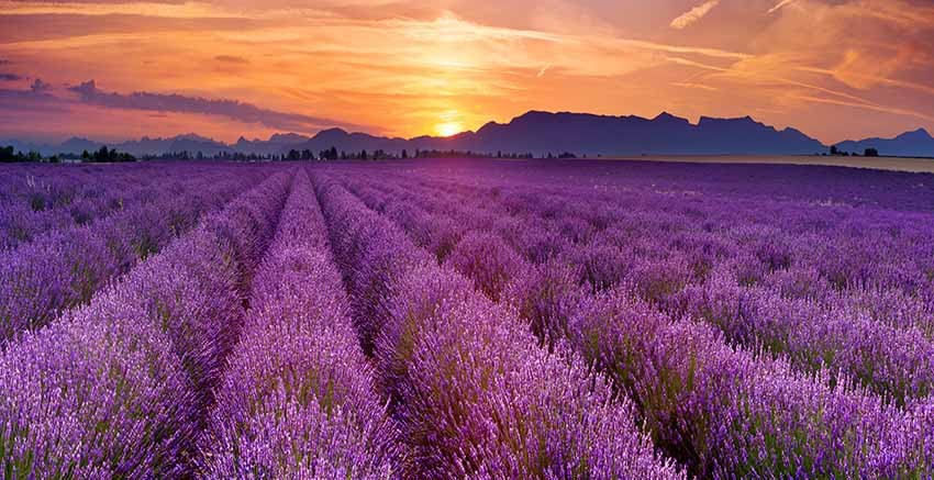 Red Art R2952 Lavender Fields Canvas Wall Art Canvas Print